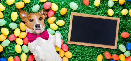 funny jack russell easter bunny  dog with eggs around on grass sticking out tongue with blackboard or banner
