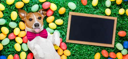 Lustige Jack Russell Osterhase Hund mit Eiern um auf Gras ragte Zunge mit Tafel oder Banner Standard-Bild - 73899702