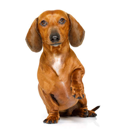 domestic: begging  dachshund sausage dog  isolated on white background and high five with paw or shaking hand