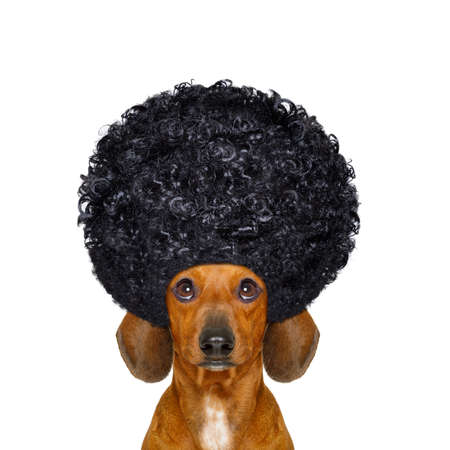 hairdresser: dachshund or sausage dog  with hair rulers  afro curly wig  hair at the hairdresser , isolated on white background