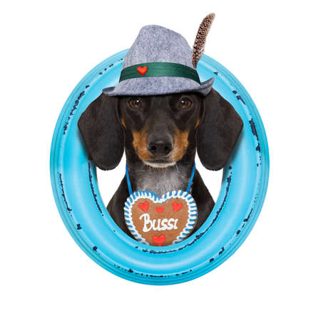 bavarian dachshund or sausage  dog with  gingerbread and beer mug, isolated on white background , ready for the beer celebration festival in munich,