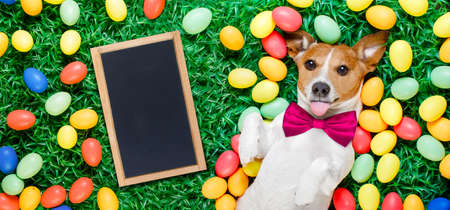 funny jack russell easter bunny  dog with eggs around on grass sticking out tongue with  empty  blackboard , banner or placard