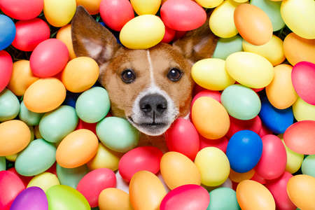 funny jack russell easter bunny  dog with eggs around on grass as background