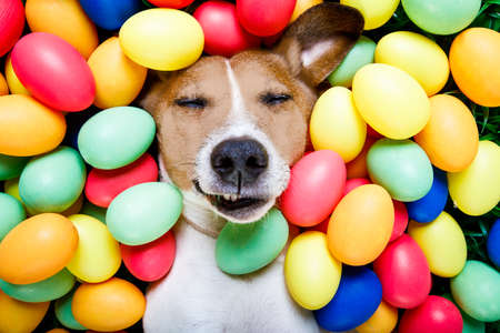 traditional: funny jack russell easter bunny  dog with eggs around on grass as background, sleeping , relaxing and resting