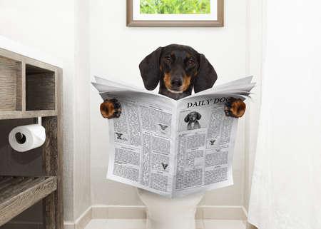 Chien de teckel ou de saucisse, assis sur un siège de toilette avec des problèmes de digestion ou de la constipation en lisant le magazine de potins ou le journal