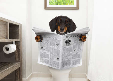 dachshund or sausage dog, sitting on a toilet seat with digestion problems or constipation reading the gossip magazine or newspaper Foto de archivo