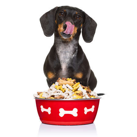 hungry dachshund sausage dog  licking with tongue with healthy food bowl  isolated on white background Stock Photo