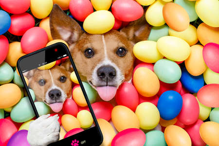 funny jack russell easter bunny  dog with eggs around on grass sticking out tongue taking a selfie with smartphone