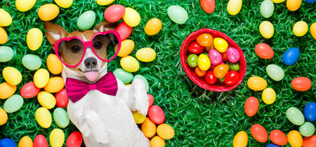 funny jack russell easter bunny  dog with eggs around on grass sticking out tongue  full basket to the side