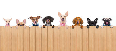 copyspace: group row of different dogs behind a blank banner placard blackboard, isolated on white background licking hungry with tongue