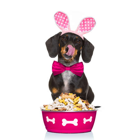 easter bunny ears dachshund sausage  dog , hungry with  behind food bowl , isolated on white background, licking with tongue Stock Photo