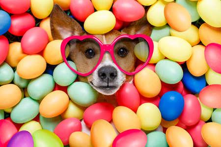 perros vestidos: Divertida jack russell conejito de pascua perro con huevos alrededor de hierba como fondo, llevaba gafas de sol