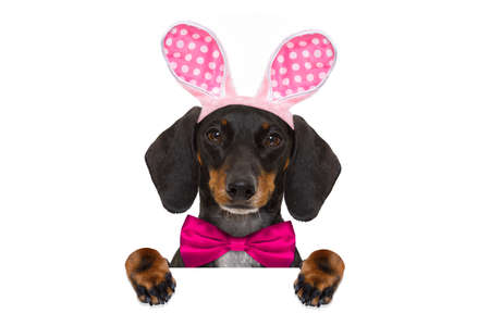 dachshund sausage  dog  with bunny easter ears and a pink tie, holding a blank banner,placard or blackboard, isolated on white background Stock Photo