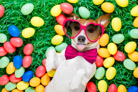 funny jack russell easter bunny  dog with eggs around on grass sticking out tongue wearing sunglasses