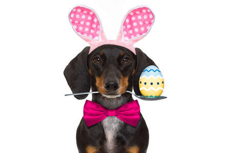 dachshund sausage  dog  with bunny easter ears and a pink tie, isolated on white background, spoon in mouth with egg