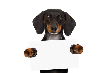 dachshund sausage  dog holding  a blank banner,placard or blackboard, isolated on white background Stock Photo