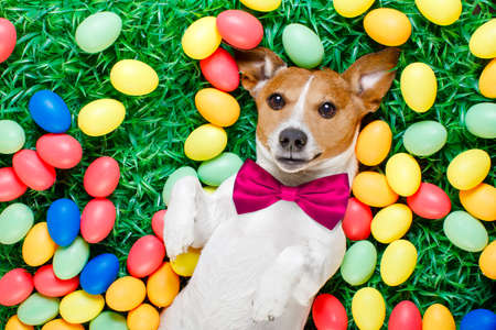 funny jack russell easter bunny  dog with eggs around as background  on grass resting and relaxing Stock Photo