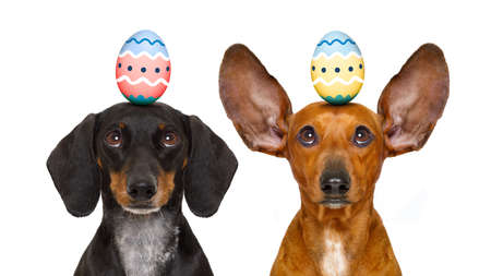 decoration: funny dachshund sausage dogs easter bunny   with egg on head , looking up, isolated on white background