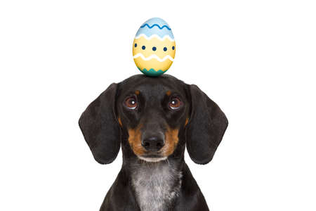decoration: funny dachshund sausage dog easter bunny   with egg on head , looking up, isolated on white background