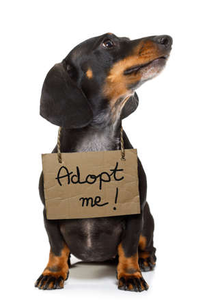 help: lost  and homeless  dachshund sausage dog with cardboard hanging around neck, isolated on white background, with text saying : adopt me