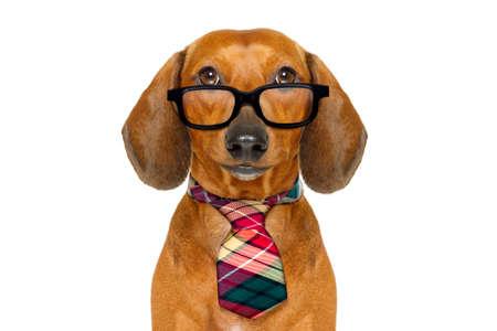 Office worker zakenman tekkel worst hond als baas en chef-kok met das, geïsoleerd op een witte achtergrond