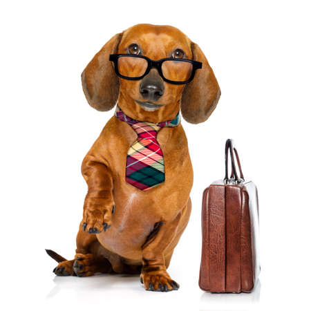 office worker businessman dachshund sausage  dog  as  boss and chef , with suitcase or bag  as a secretary,  with  tie , isolated on white background Stock Photo