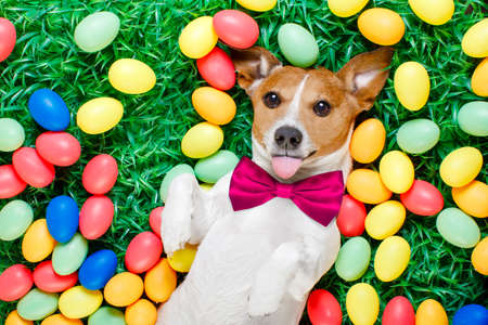 funny jack russell easter bunny  dog with eggs around on grass sticking out tongue and resting