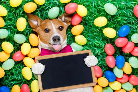 perros vestidos: Divertida jack russell conejito de pascua perro con huevos en torno a la hierba que sobresale la lengua en blanco la celebración de pizarra vacía o banner