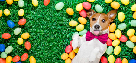 funny jack russell easter bunny  dog with eggs around on grass sticking out tongue  blank empty  space to the side