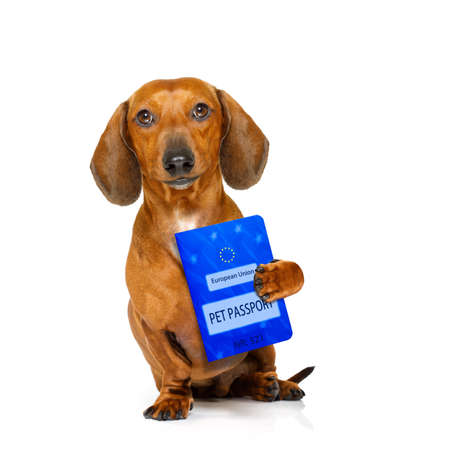 europe: dachshund sausage dog with european pet  passport , isolated on white background