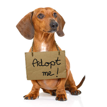 lost  and homeless  dachshund sausage dog with cardboard hanging around neck, isolated on white background, with text saying : adopt me
