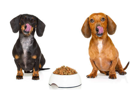 hungry couple of dachshund sausage dogs  with  healthy   food bowl, isolated on white background Imagens - 74297620