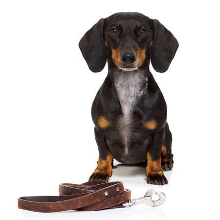 Dachshund o perro de salchicha de espera para el propietario para jugar e ir a dar un paseo con correa, aislado en fondo blanco