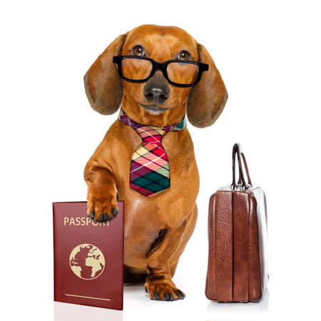 profession: dachshund or sausage  dog on business trip with passport document or  ticket and suitcase luggage , isolated on white background Stock Photo