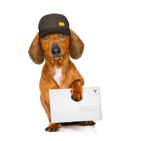 delivery service: dachshund sausage dog delivering a big envelope as a postman with cap , isolated on white background