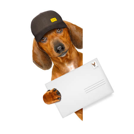 pet services: dachshund sausage dog delivering a big envelope as a postman with cap , isolated on white background