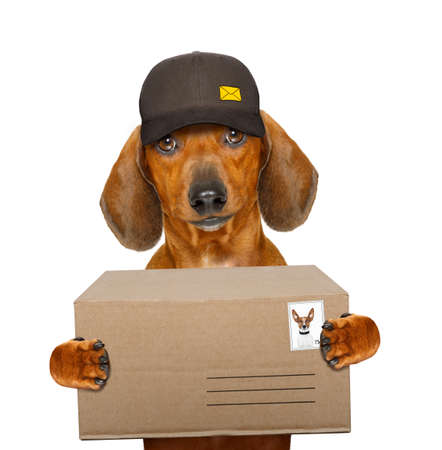 delivery service: dachshund sausage dog delivering a big brown package as a postman with cap , isolated on white background Stock Photo