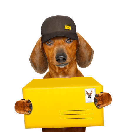 delivery service: dachshund sausage dog delivering a big yellow package as a postman with cap , isolated on white background Stock Photo