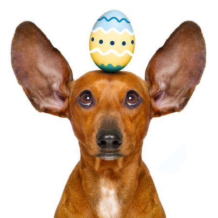 happy holidays: funny dachshund sausage dog easter bunny   with egg on head , looking up, isolated on white background