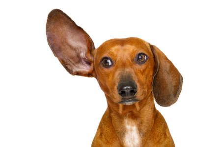 Bassotto o cane di salsiccia ascolto con un orecchio molto attentamente, isolato su sfondo bianco