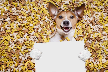hungry jack russell dog inside a big mound or cluster of food , isolated on mountain of cookie bone  treats as background,holding a blank empty banner or placard Stock Photo
