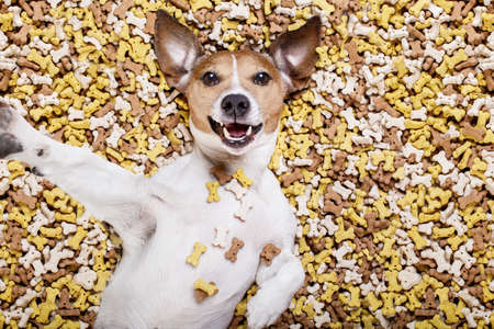 hungry jack russell dog inside a big mound or cluster of food , isolated on mountain of cookie bone  treats as background, taking a selfie with smartphone mobile phone Stock Photo