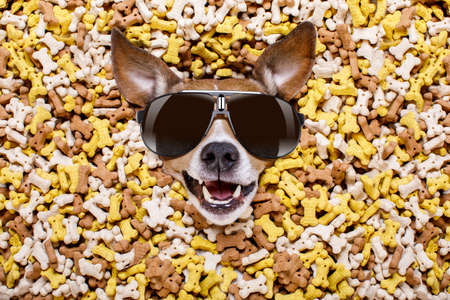 hungry jack russell dog inside a big mound or cluster of food , isolated on mountain of cookie bone  treats as background, wearing cool sunglasses
