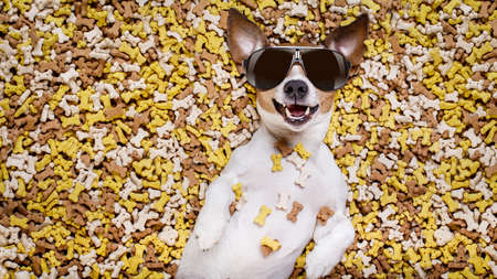 biscuits: hungry jack russell dog inside a big mound or cluster of food , isolated on mountain of cookie bone  treats as background, wearing cool sunglasses