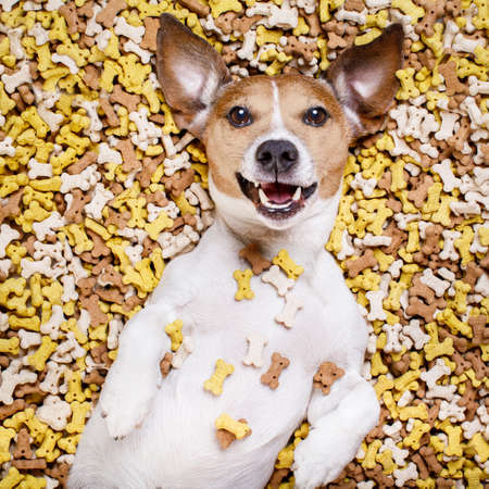heap: hungry jack russell dog inside a big mound or cluster of food , isolated on mountain of cookie bone  treats as background