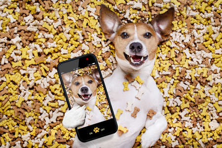 big: hungry jack russell dog inside a big mound or cluster of food , isolated on mountain of cookie bone  treats as background, taking a selfie with smartphone mobile phone Stock Photo