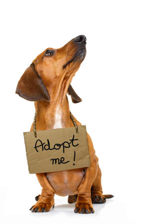 lost  and homeless  dachshund sausage dog with cardboard hanging around neck, looking up ,isolated on white background, with text saying : adopt me Stock Photo