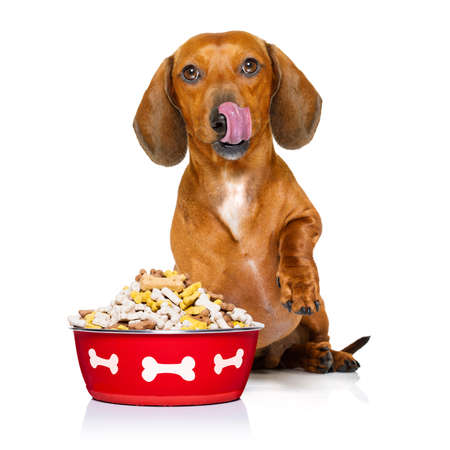 large: hungry dachshund sausage dog  licking with tongue with healthy food bowl  isolated on white background Stock Photo
