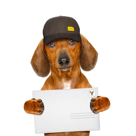 work: dachshund sausage dog delivering a big envelope as a postman with cap , isolated on white background