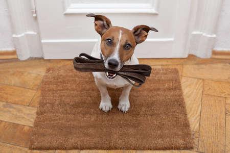 obediencia: Jack Russell perro esperando una la puerta de casa con correa de cuero, listo para ir a dar un paseo con su dueño